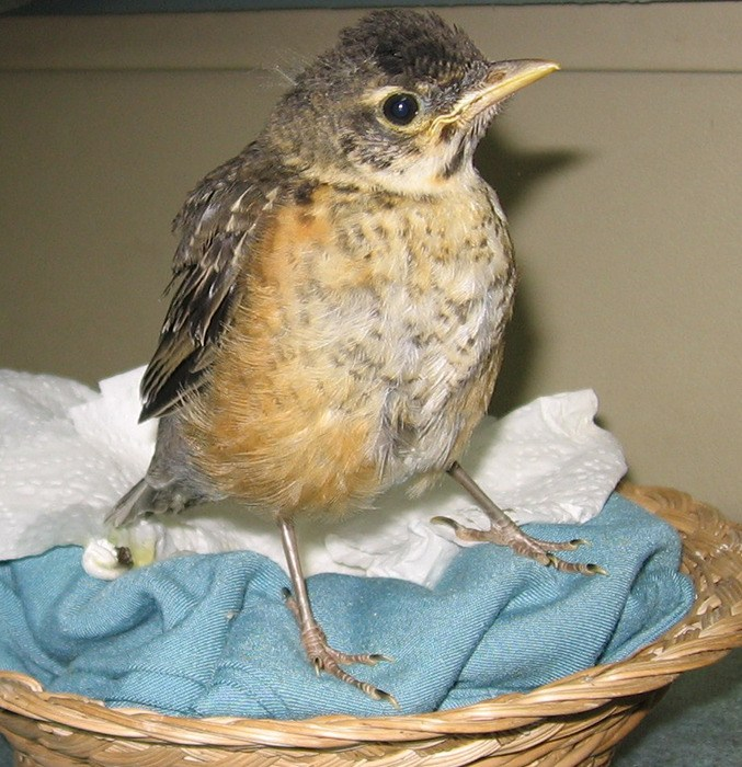 North American robin babies grow at a rapid rate and have voracious appetites.